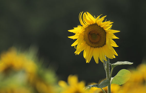 Smiling Sunflower, Lot-et-Garonne - copyright Peter Evans