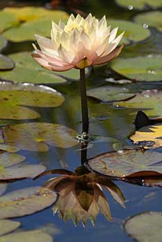 Latour-Marliac water-lilies - copyright Peter Evans