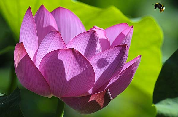 Lotus and bee - copyright Peter Evans