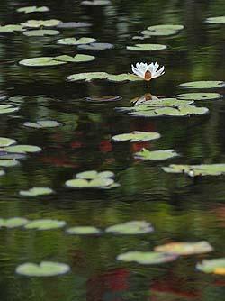 Monet water-lilies - copyright Peter Evans